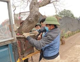 """Người làng Nhật Tân tất bật phục hồi đào """"khủng"""" sau Tết Nguyên đán"""