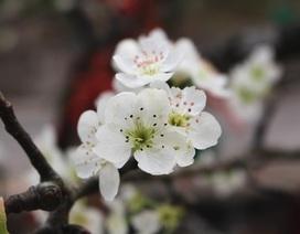 Đào phai, mai tàn, dân Hà Nội đổ xô đi mua hoa lê rừng