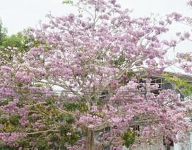 Đường hoa kèn hồng tuyệt đẹp ở Sóc Trăng đến mùa khoe sắc