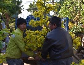 Gia Lai: Nhà vườn rộn ràng vào vụ trồng hoa mai sau Tết