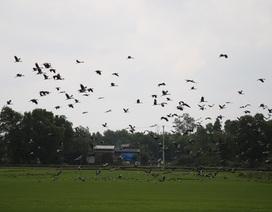 Ngắm đàn chim quý hàng ngàn con đậu trắng đồng lúa