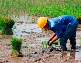 Quảng Bình: Ra Tết, bỏ 200.000 đồng/ngày thuê người đi cấy lúa