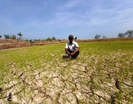 Nguy cơ mất trắng hàng nghìn héc ta lúa vì hạn mặn