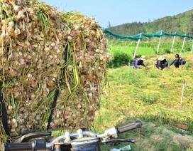 """Quảng Ngãi: Ngăn chặn tỏi từ đất liền ra đảo """"khoác áo"""" tỏi Lý Sơn"""
