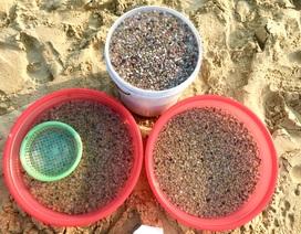 Đà Nẵng: Ngư dân thu tiền triệu mỗi ngày nhờ cào ốc gạo