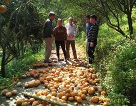 """Nông dân nẫu ruột nhìn 8.300 tấn cam """"rụng như sung"""""""