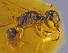 Phát hiện hổ phách loài ong nguyên thủy lâu đời nhất với phấn hoa