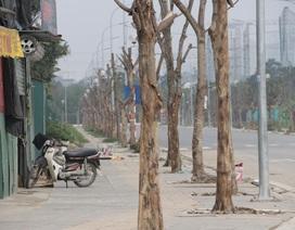 Hà Nội: Hàng trăm cây xanh chết khô trên con đường mới mở
