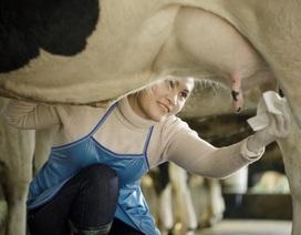 Sữa tươi không dư lượng kháng sinh: Ngỡ tìm đâu xa, hóa ra ở ngay cạnh mẹ đó mà