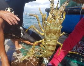Tôm hùm xanh rớt giá chưa từng thấy, tại Khánh Hòa còn 600 ngàn đồng/kg