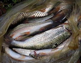 Hồi sinh đàn cá đặc sản trên dòng Chà Lạp