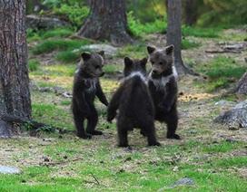 Hiếm hoi cảnh 3 chú gấu nắm tay nhau nhảy giữa rừng