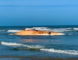 """Xác cá voi """"khủng"""" dạt vào bờ biển Hà Tĩnh"""