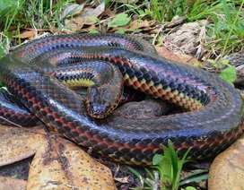 Con rắn cầu vồng hiếm hoi được phát hiện ở Florida