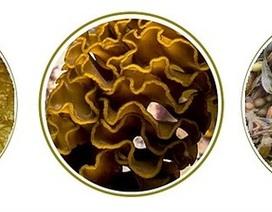 Công dụng của thực phẩm chứa Fucoidan sulfate hóa cao