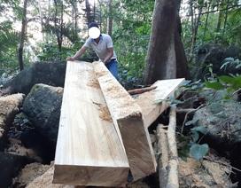 """Cận cảnh cánh rừng ngay gần uỷ ban xã bị """"xẻ thịt"""", gỗ hộp nằm ngỗn ngang"""