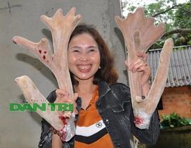 """Ngắm cặp nhung """"siêu khủng"""", bán giá gần cả cây vàng tại Hà Tĩnh"""