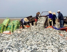 Trúng mẻ cá trích chính vụ, ngư dân thu cả chục triệu đồng/ngày