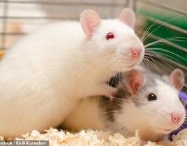 Chuột có sự đồng cảm và tránh gây đau đớn cho đồng loại