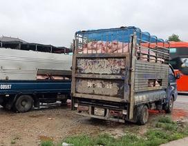 Quảng Bình: Bắt 2 xe chở lợn trốn kiểm dịch đang trên đường đi tiêu thụ