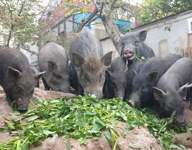 Ứng phó dịch Covid-19, dân Thủ đô rủ nhau nuôi lợn mán