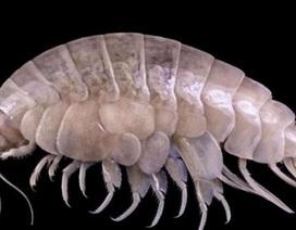 Phát hiện loài mới ở rãnh sâu nhất thế giới