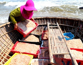 Ngư dân Quảng Nam trúng mùa ruốc biển