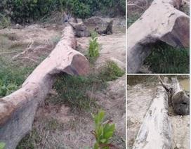 Đấu giá cây gỗ lim trăm tuổi tìm được dưới suối