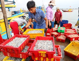 Ngư dân Quảng Nam được mùa cá cơm