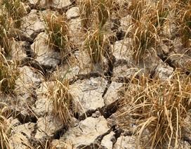 Ruộng đồng chết khô, miền Tây quay quắt trong cơn hạn, mặn