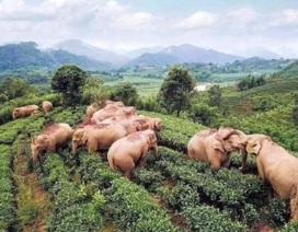 Đàn voi say rượu ngô túy lúy