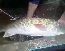 Bắt được cá nghi sủ vàng quý hiếm nặng hơn 5kg