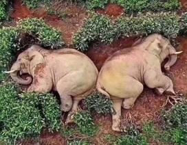 Đàn voi uống rượu say đến… bất tỉnh