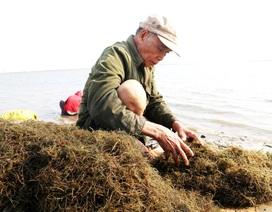 Ngư dân Quảng Nam được mùa rong câu