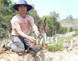 Thủy điện chặn dòng, hàng trăm héc ta hoa màu nguy cơ chết khô