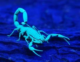 Phát hiện hợp chất huỳnh quang đặc biệt từ bộ giáp của bọ cạp