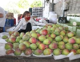 Khánh Hòa: Thu mua xoài Úc xuất sang Trung Quốc phục hồi, dù rớt giá mạnh