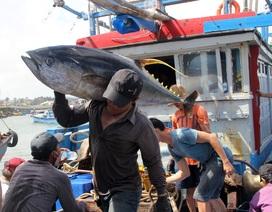 Đặc sản cá ngừ đại dương: Giá lao dốc vì không xuất khẩu được
