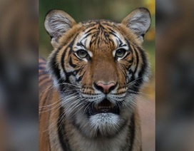 Con hổ đầu tiên trên thế giới bị nhiễm coronavirus