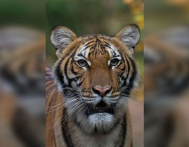 Phát hiện hổ ở sở thú Mỹ nhiễm virus SARS-CoV-2