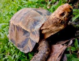 Giải cứu cá thể rùa trán vàng cực quý hiếm