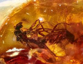 """Tìm thấy hổ phách hóa thạch của cặp ruồi 41 triệu năm đang làm """"chuyện ấy"""""""