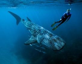 Tuổi thọ thực sự của cá mập voi?