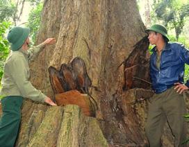 """""""Báu vật"""" rừng xanh khẩn thiết kêu cứu giữa đại ngàn Tây Nguyên!"""