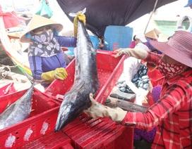 """Quảng Ngãi:Trúng cá """"khủng"""", ngư dân vẫn lo lỗ vì ảnh hưởng Covid-19"""