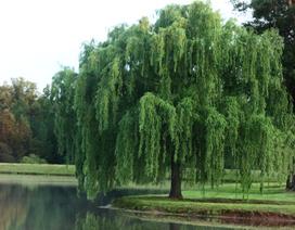 Phát hiện mới: Hoạt chất từ cây liễu tiêu diệt nhiều loại tế bào ung thư