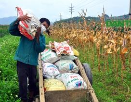 Thắng lợi vụ ngô đông giúp nông dân quên bớt khó khăn của đại dịch Covid-19
