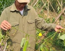 Vườn mướp sắp đến kỳ thu hoạch bị chặt phá tan hoang