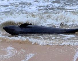 Cứu sống con cá heo bị sóng lớn đẩy vào bờ