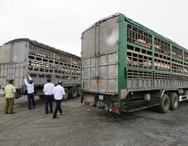 Phát hiện 2 xe tải vận chuyển 342 con lợn không rõ nguồn gốc